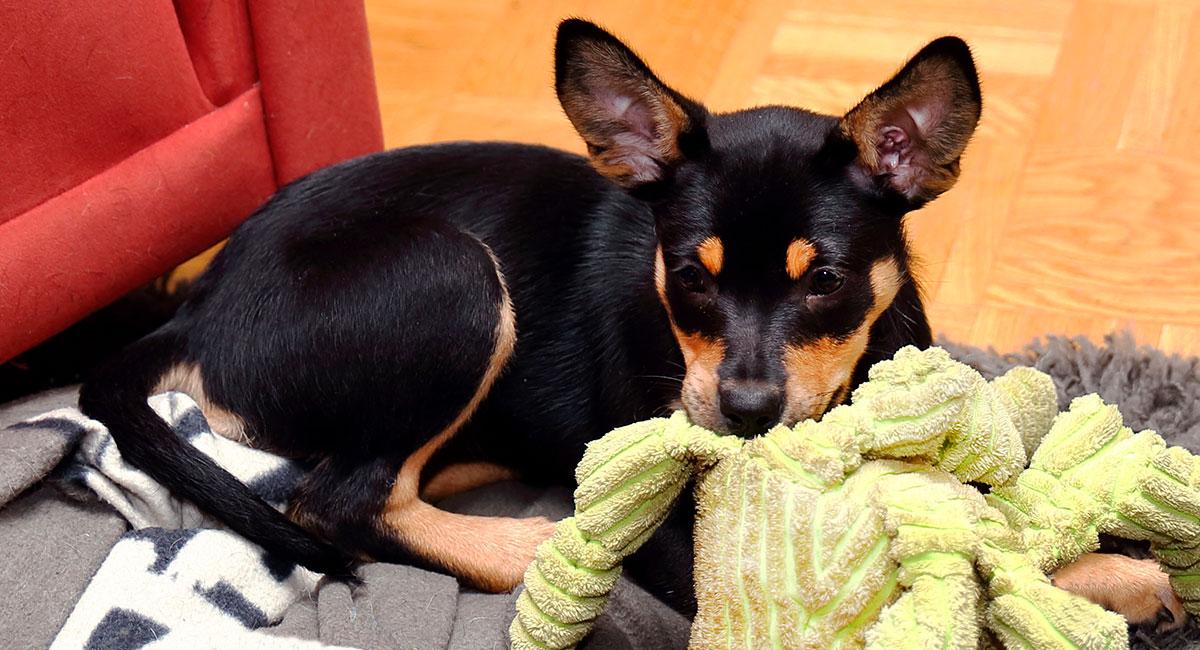 Koiranpentu lelun kanssa